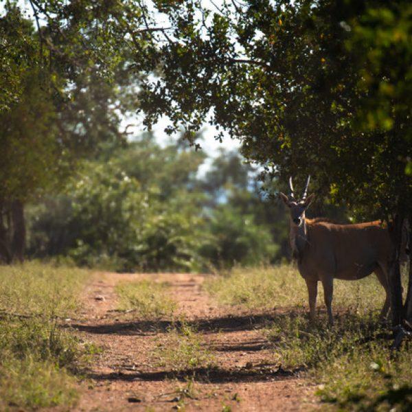 Meet the world's biggest antelope!