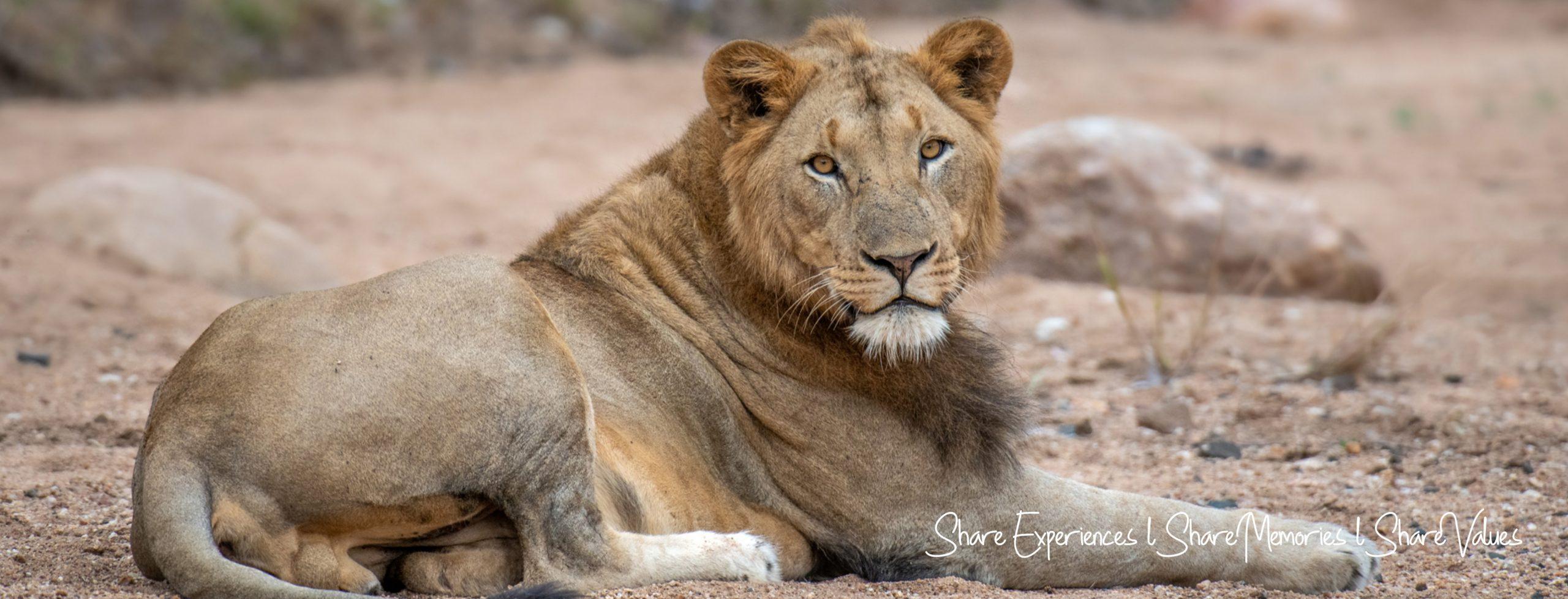 LionMaleHeader