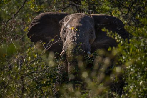 ABG_Elephant_Bull_01