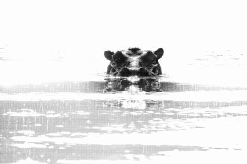 ABG_Hippo_B&W