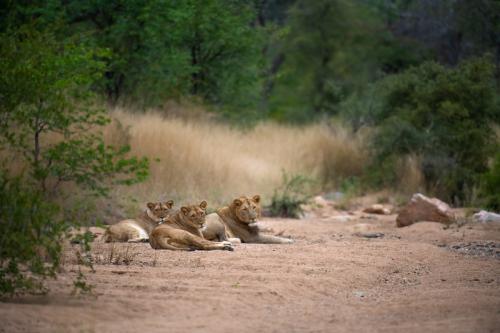 ABG_Lion_Pride_02