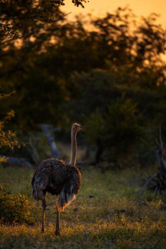 ABG_Ostrich_01
