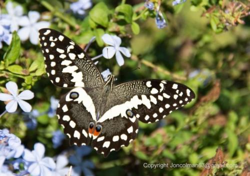 Abelana Citrus Swallowtail 2 JC A4 330ppi (002)