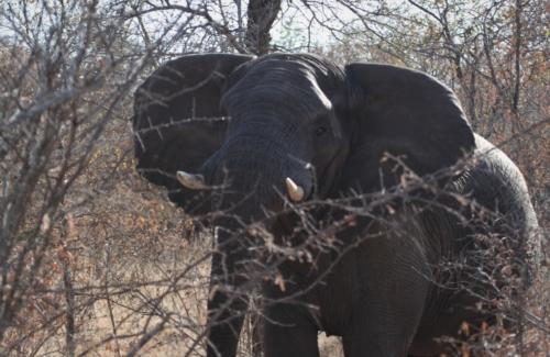 Abelana Elephant Bull2