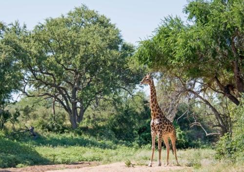 Abelana Giraffe 1 JC A4 330ppi (002)