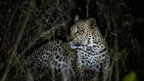 Abelana Leopard subadult Fraser Moore