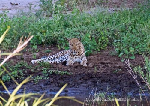 Abelana Mulati Leopard JC A4 330ppi (002)