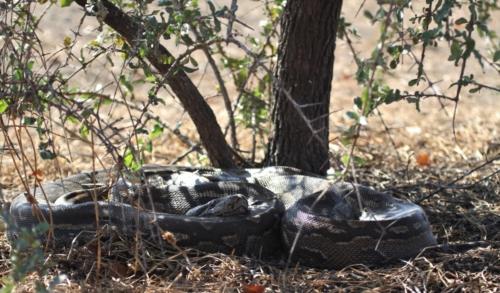 Abelana Python1
