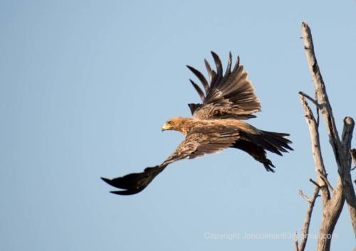 Abelana Tawny Eagle JC A4 330ppi (002)