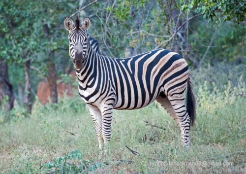 Abelana Zebra 1 JC A4 330ppi (002)